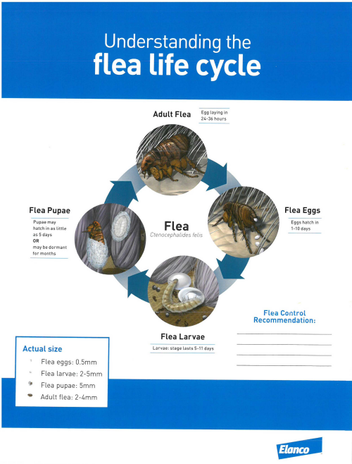 Low resolution image with diagram of flea life cycle
